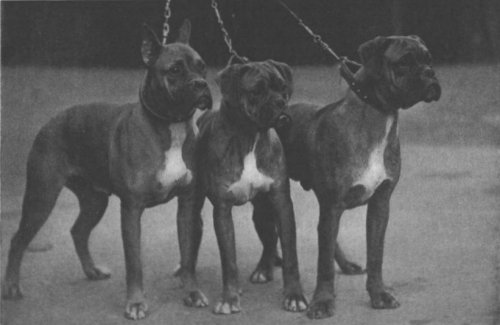 Three Boxers at Crufts 1937