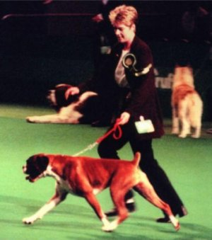 Crufts 2001 - Boxer BOB - CH Makeneys Magical Moments JW - On the move