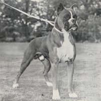 Frolich von Dom - Front - Photo from OUR DOGS Christmas Number 1952, Pg 74