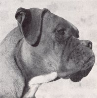 CH Gernotson of Jonwin - Head Shot - Photo from The Dog World Annual 1950, Page 99