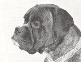 CH Gremlin Indelible - Photo from The British Boxer Club Year Book 1955, Page 109