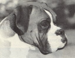 CH Seefeld Holbein - Head Shot - Photo from Dog World Annual 1966, Page 340