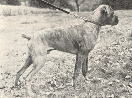 Stainburndorf Jaguar - Aged 6 Months - Photo from Our Dogs, 18 Dec 1942, Pg 39