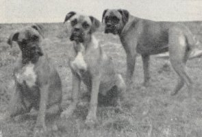Stainburndorf Wendy, S. Vanda and S. Viola - Taken from Our Dogs Christmas 1952, Pg 77