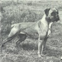 Stainburndorf Vanda - Taken from Supplement to OUR DOGS 16 Dec 1938, Page 74